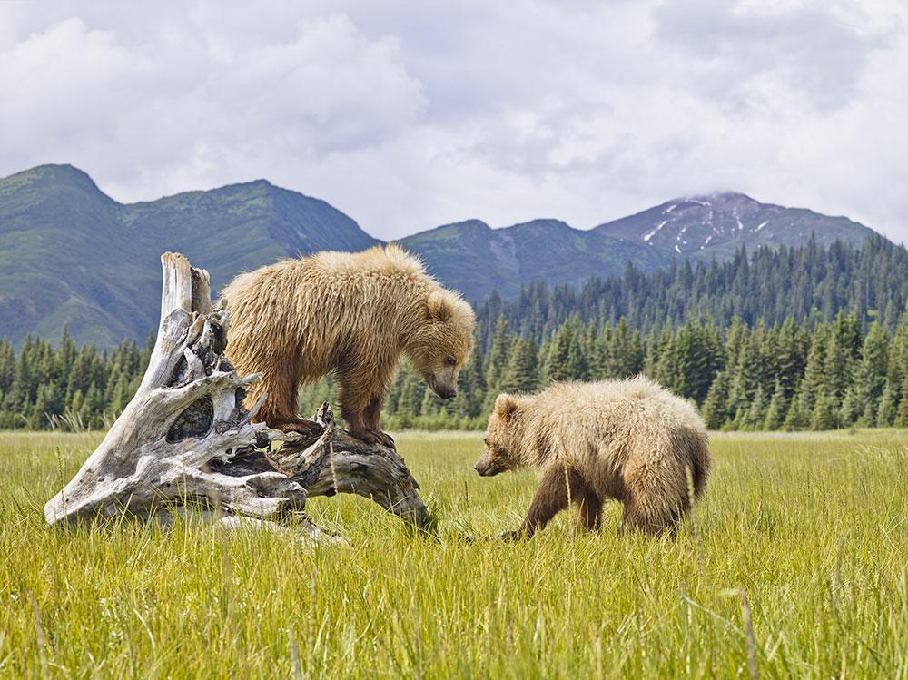Bears in Denali National Park, Alaska
