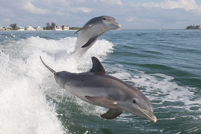 Bottlenose dolphins jumping in bow waves Florida
