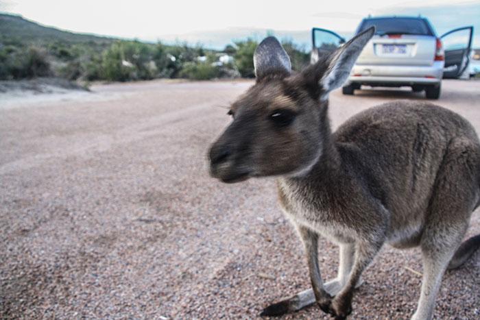 Cape Le Grand Kangaroo Richard Collett