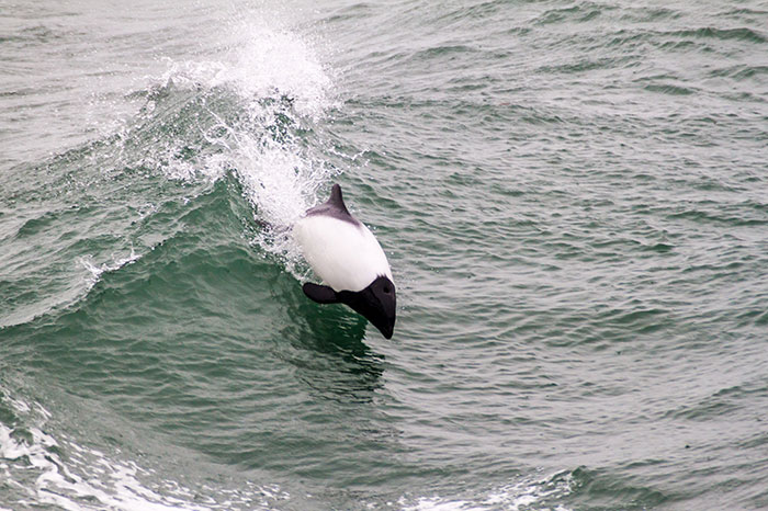 Commerson's dolphin in Chile's Magellan Strait