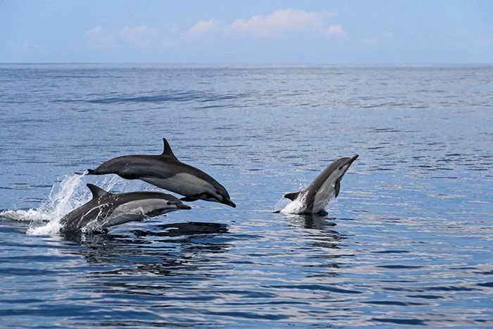 Common dolphin, Costa Rica