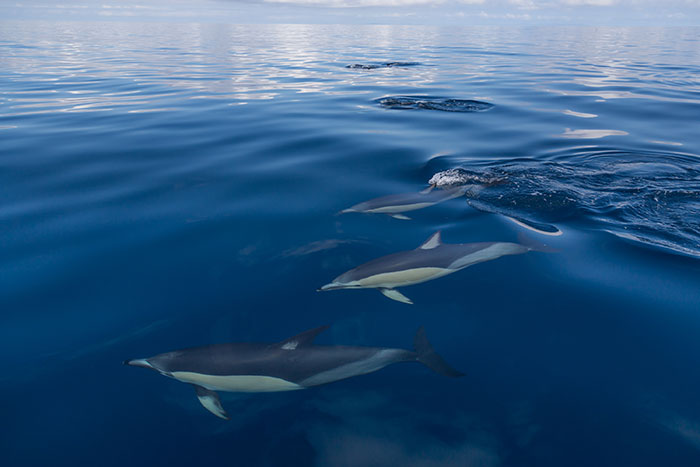 Common dolphins Hauraki Gulf