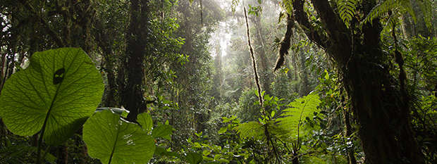 A thick jungle nearby Monteverde in Costa Rice