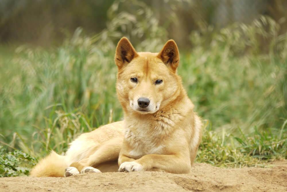 Dingo Sunshine Coast