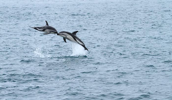 Dusky dolphins jumping