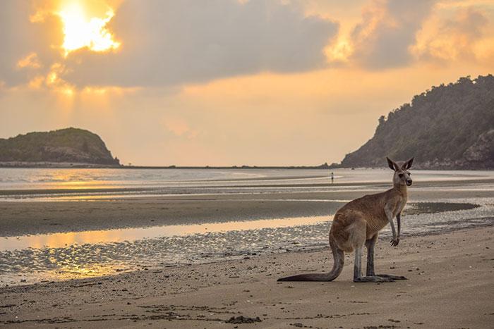 Eastern grey kangaroo on Casuarina Beach