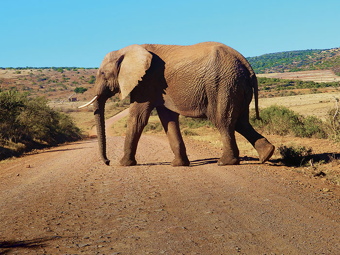Elephant in Addo Elephant Park