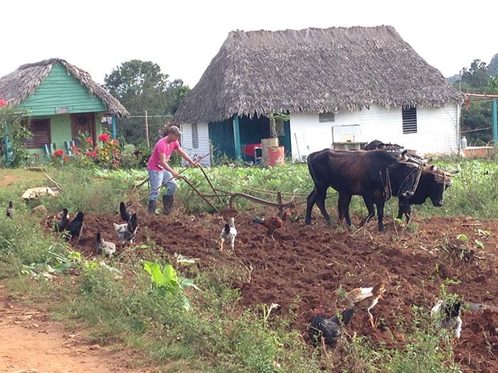 Farming Vinales, Cuba