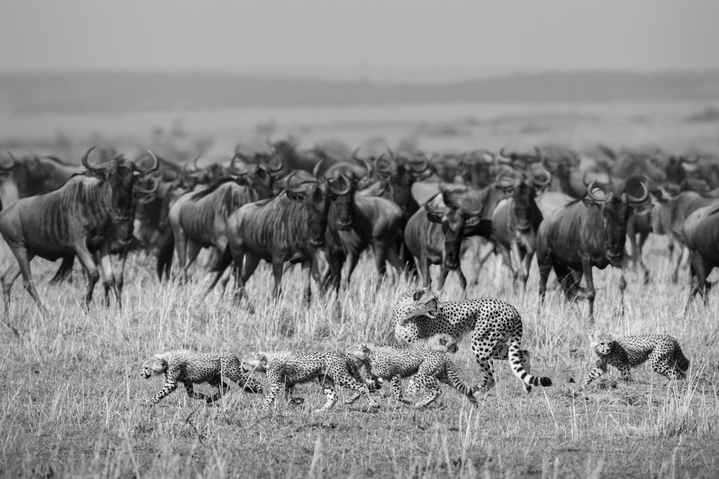 Survival in the Masai Mara quite often depends on animals being endlessly aware of their immediate surroundings. One moment this Cheetah female is hunting, the next minute she is the one being hunted, in this case by a pride of lions. She calls her cubs and they instinctively know what to do. Get away as far away as possible!