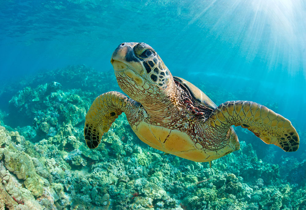 Hawaii diving turtle