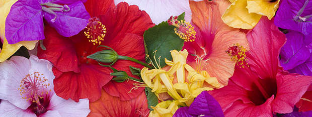 Hibiscus flowers are common in the Cook Islands