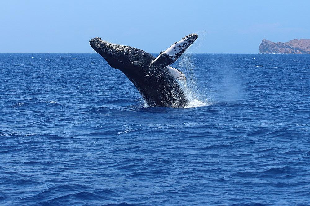 Humpback whale in Hawaii