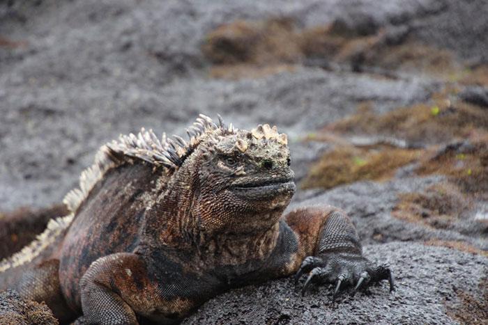 Iguana Galapagos Jessica French