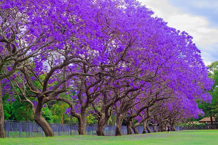 Jacaranda trees in Queensland