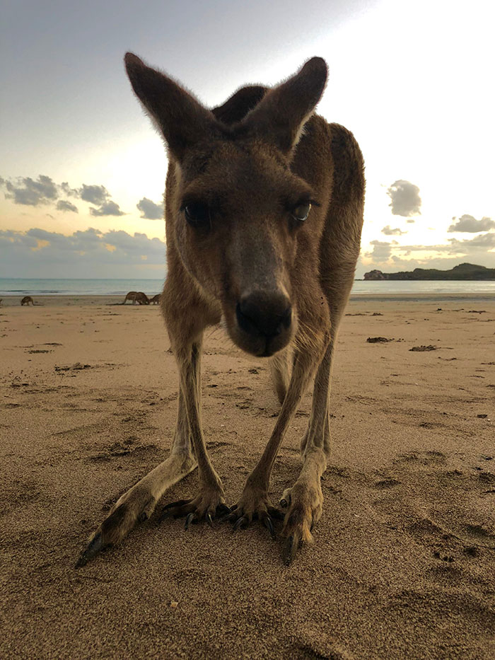 Kangaroo close up Cape Hillsborough