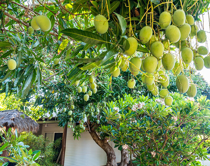 Mangoes in Broome
