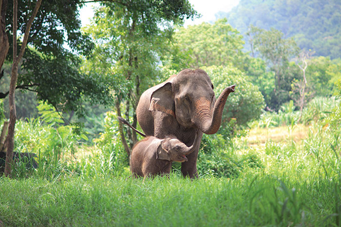 Mother and baby Asian elephant