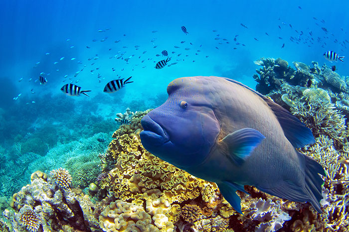 Napoleon wrasse Great Barrier Reef