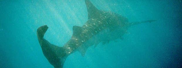 Whale shark at Ningaloo Reef