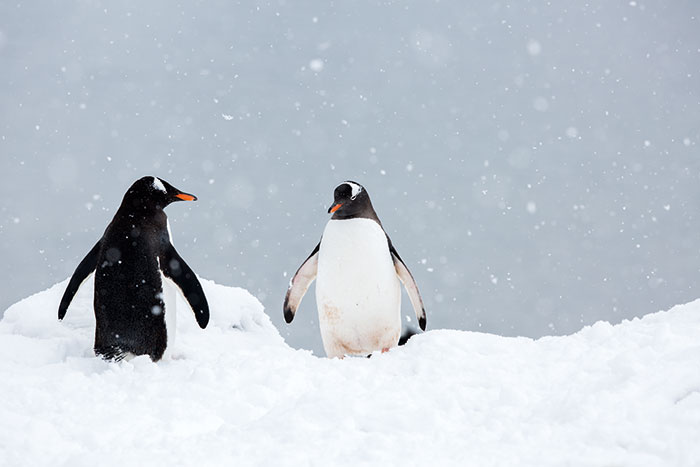 Close up of penguins in Antarctica Ginny Scholes