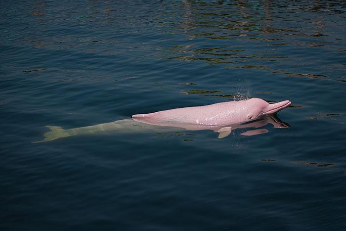 Pink dolphin Hong Kong