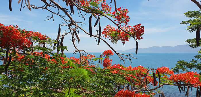 Poinciana at Magnetic Island, Queensland