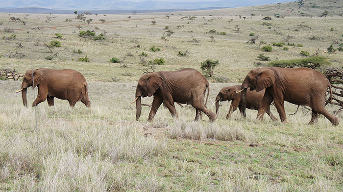 Elephants in Lewa Conservancy