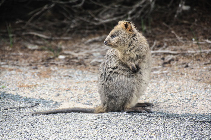 Quokka on Rottnest Island Richard Collett