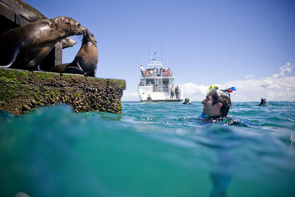 Seals in the Mornington Peninsula, Victoria