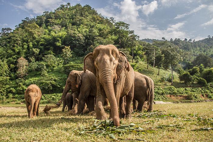 Elephants, Chiang Mai
