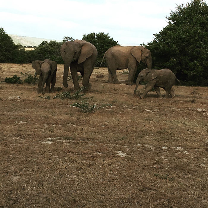 Elephants in Shamwari, South Africa