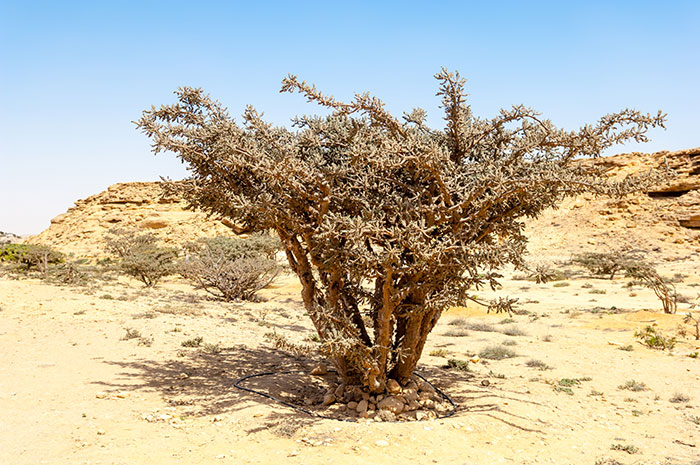 Frankincense Trail, Oman