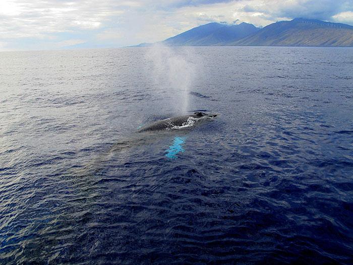 Hawaii whales