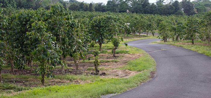 Kona coffee farm, Big Island, Hawaii