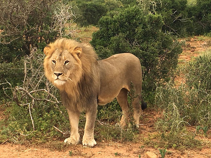 Lion, Shamwari, South Africa