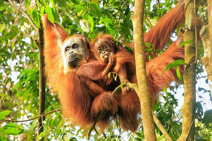 Orangutans, Sumatra