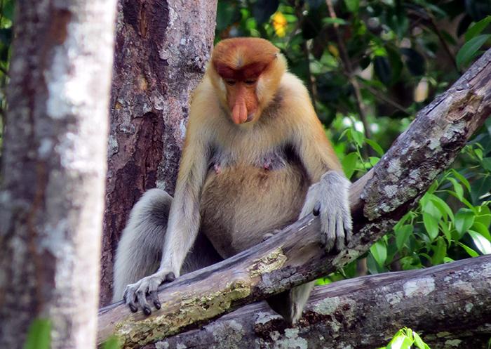 Proboscis monkey (image: Hazel Plush)