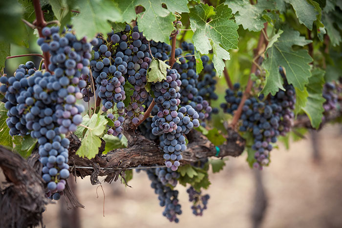 Purple grapes in the Napa Valley, California