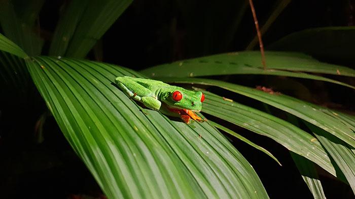 Red-eyed tree frog, Tortuguero Costa Rica (image: Bradley Cronin)