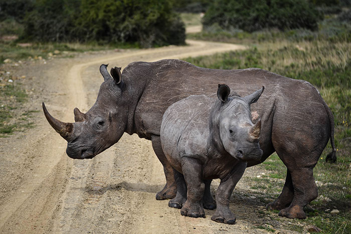 Rhinos in Shamwari Game Reserve