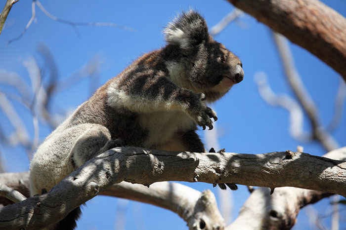 A koala at Yanchep National Park