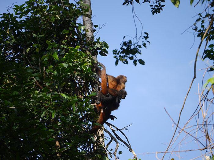 Spider monkeys, Casa Corcovado, Costa Rica (image: Alexandra Cronin)