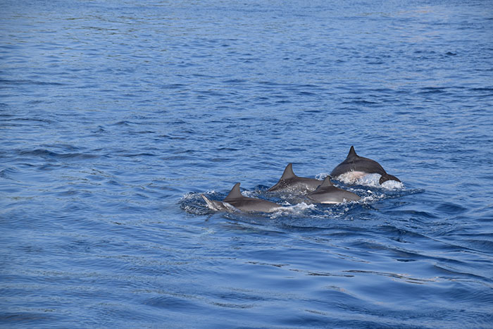 Spinner dolphins, Maldives
