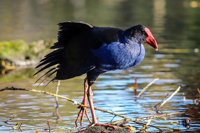 Takahe, Willowbank Wildlife Reserve
