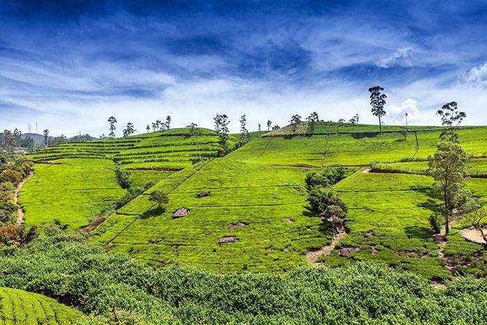 Tea plantations at Nuwara Eliya, Sri Lanka