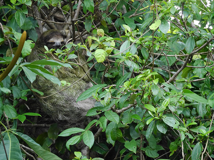Three-toed sloth, Tortuguero, Costa Rica (image: Alexandra Cronin)
