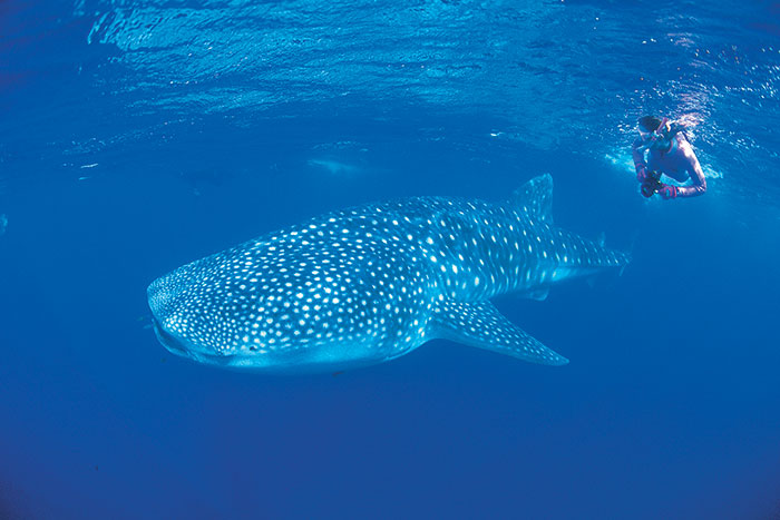 Whale shark in Coral Bay (image: Tourism Western Australia)