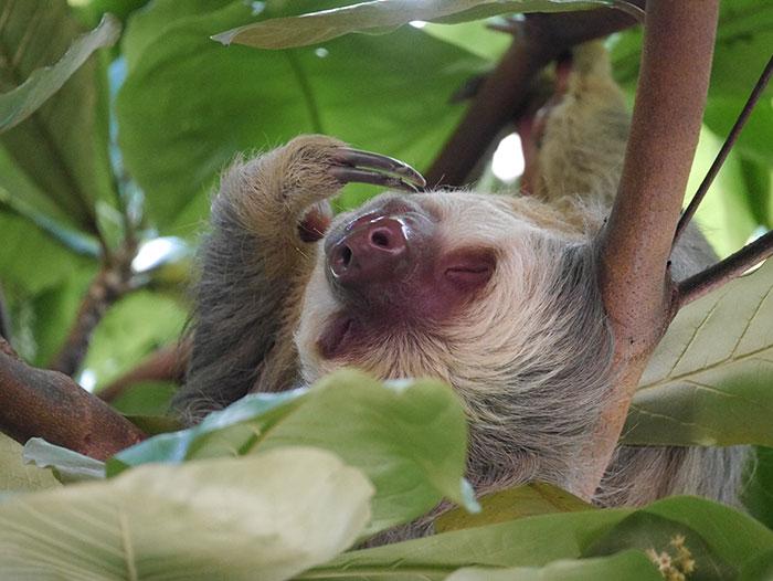 Two-toed sloth, Manuel Antonio, Costa Rica (image: Alexandra Cronin)