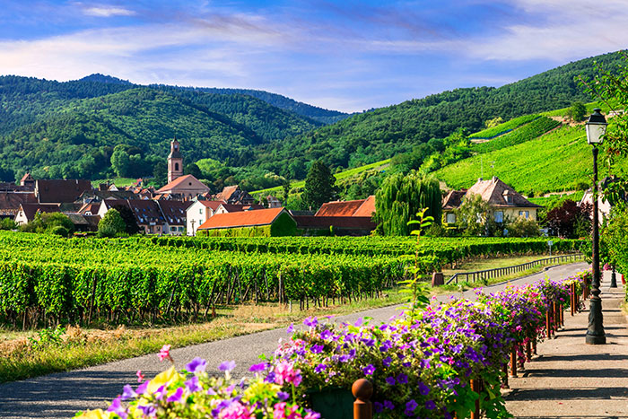 Vineyard in Alsace, France