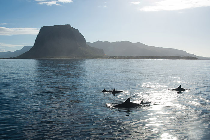 Wild dolphins in Mauritius